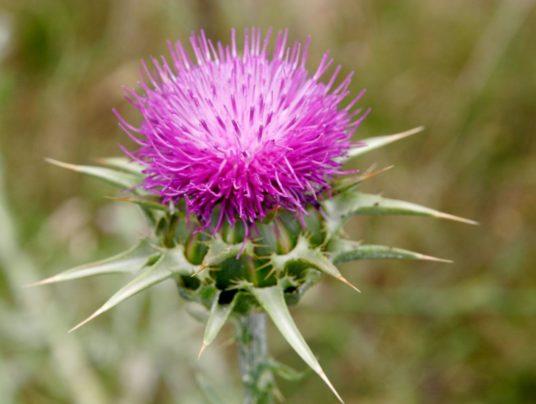 Расторопша — растение для лечения печени, желудка, кишечника